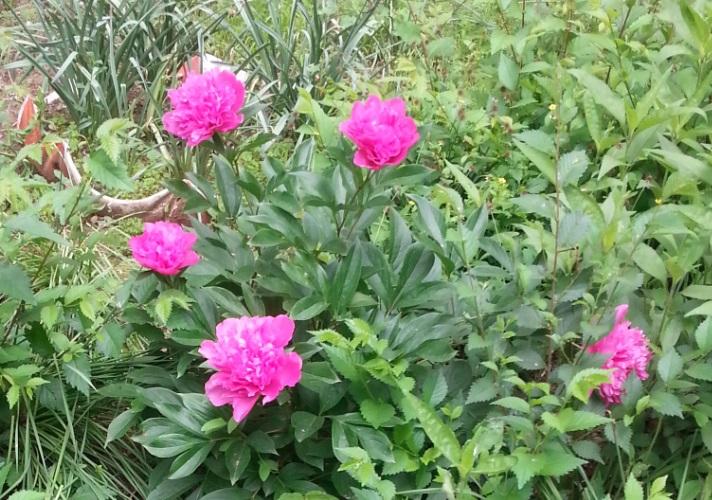 mopana-beautiful-pink-peony-01