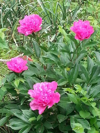 mopana-beautiful-pink-peony-02