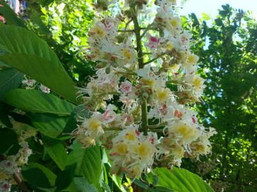 mopana-candle-in-the-wind-chestnut-flower-04