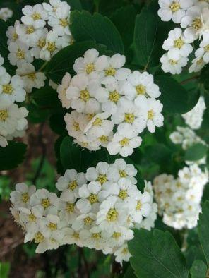 mopana-white-little-flowers-05
