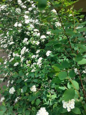 mopana-white-little-flowers-08