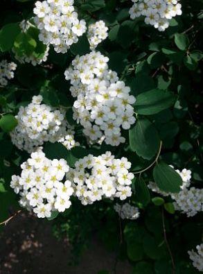 mopana-white-little-flowers-10