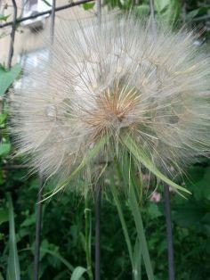 mopana-giant-dandelion-05