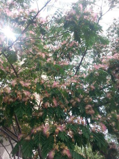 mopana-beautiful-tree-04
