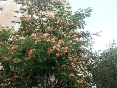 mopana-beautiful-tree-08