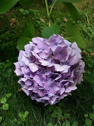 mopana-blue-hydrangea-01