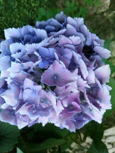 mopana-blue-hydrangea-03