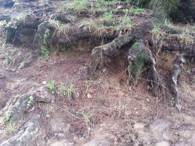 mopana-tree-roots-02