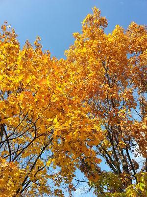 mopana-a-golden-autumn-01