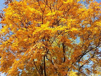 mopana-a-golden-autumn-05
