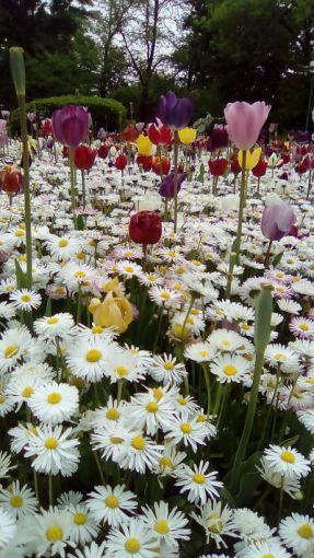 mopana-tulips-cismigiu-2017-04_opt