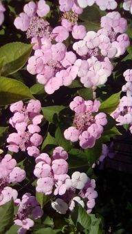 mopana New kind of hydrangea