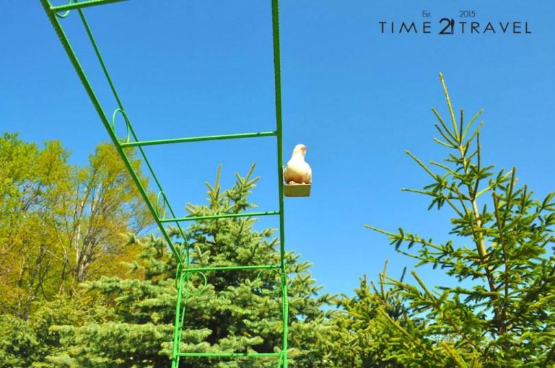 Белият гълъб