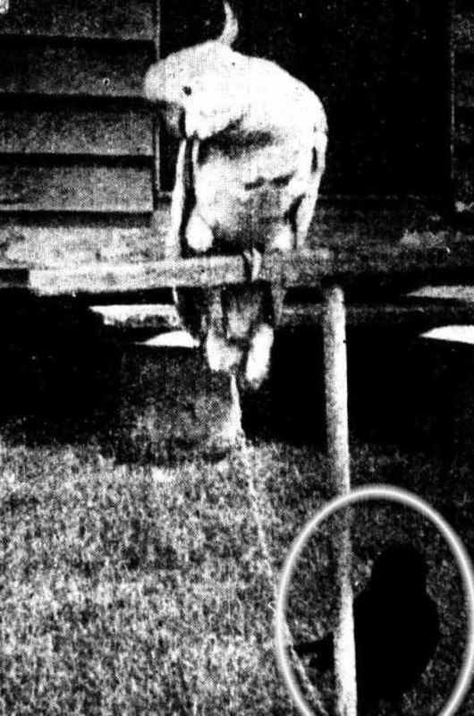A cockatoo and a crow (circled) provide a good deal of amusement at a hotel In Kllcoy. They chatter with each other during the day, and at night the crow finds a place on the cockatoo's perch. - The Telegraph (Brisbane) Saturday 3 December 1927.