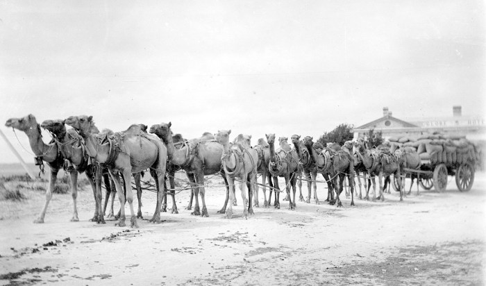 Camel Train front of Globe Hotel Fowlers Bay