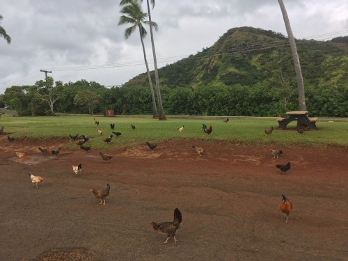 Chickens in Kauai