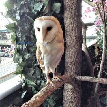 Cute little owls at the Owl Cafe, Arashiyama, Kyoto.