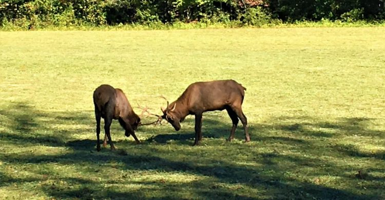 Great Smoky Mountains: Rare sightings of Elks in Cherokee