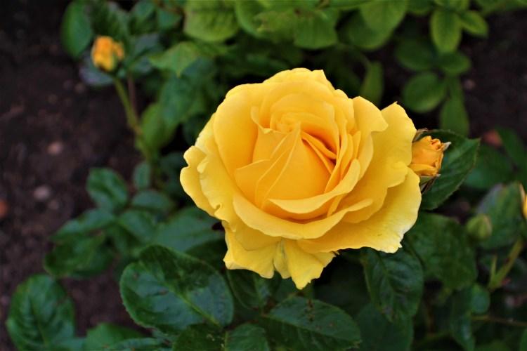 Doris Day - Rose Garden, Regent's Park