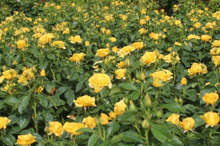 Golden Smiles, Rose Garden in Regent's Park, London