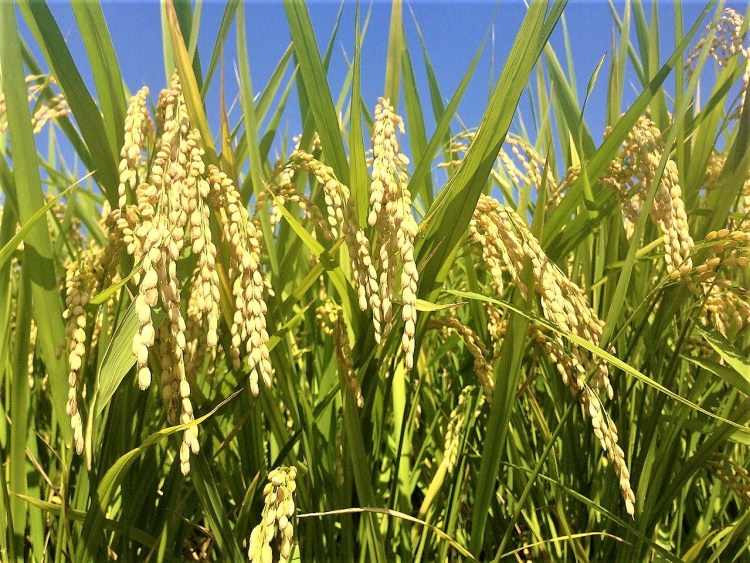 Ear of Rice, Fall Harvest | Japan