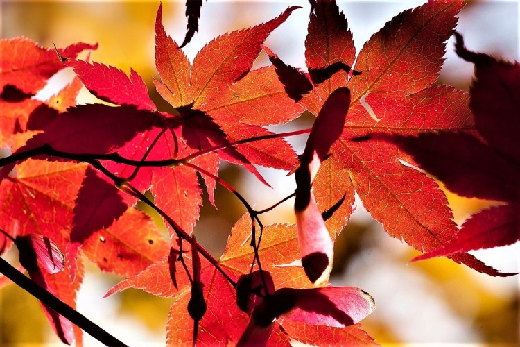 Japanese Maple | Fall Colours | Japan