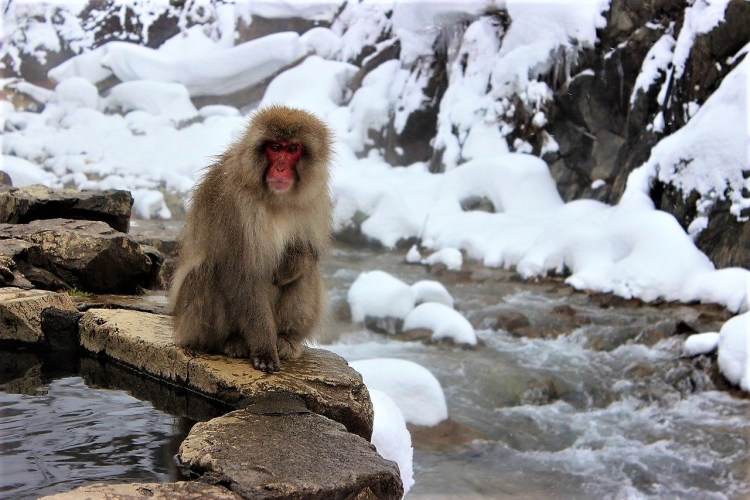 Snow-monkeys, Nagano, Japan | Best time to go to Japan