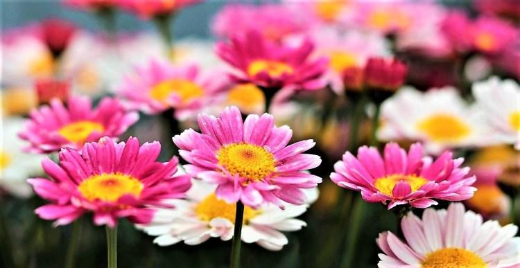 daisy.april.flower.colours