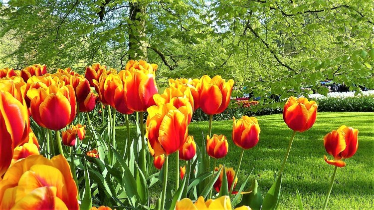 Keukenhof.tulip.amsterdam