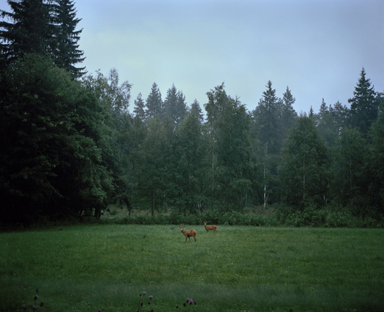 Two young roe deers appear at the edge of the forest at dusk.