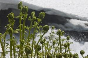 fiddlehead fern, chilkoot river, Haines, AK, Alaska, Lutak
