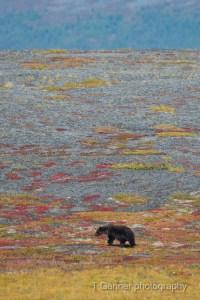 Dempster Highway, grizzly bear, Richardson Mountains, Yukon Territory, Yukon, tundra, caribou, wildlife photography