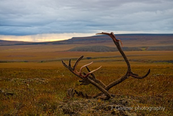 Dempster Highway, grizzly bear, Richardson Mountains, Yukon Territory, Yukon, tundra, caribou, antler, wildlife photography