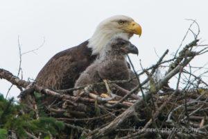 bald eagle, wildlife photography, nest, juvenile eagle