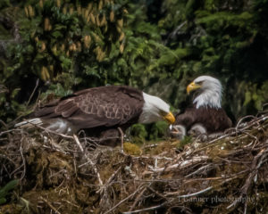 bald eagle, wildlife photography, nest, juvenile eagle, nestling