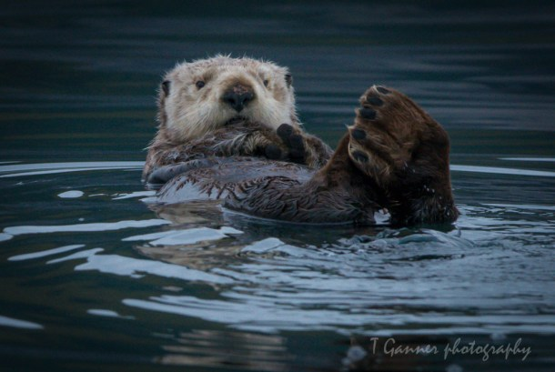Aleutian Islands, AMHS, Alaska, Alaska Marine Highway System, Kodiak, sea otter