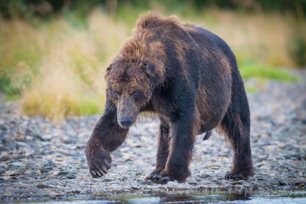 bear, grizzly bear, brown bear, Katmai, Katmai National Park, Alaska, Hallo Bay, brown bears