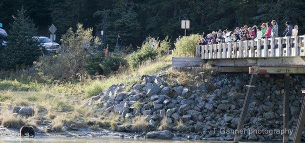 tourism, experience, Haines, Alaska, Chilkoot River, bear, viewing, wildlife