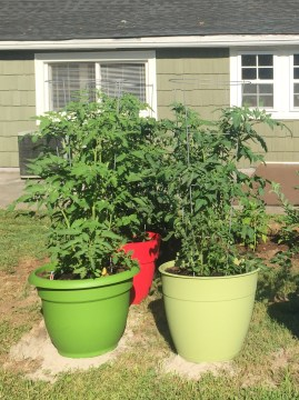 Potted tomato plants.