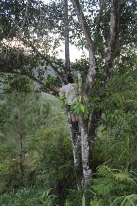 Benjamin wearing a striped shirt, shorts and wellington boots in a tree over a cliff reaching out to collect leaves for analyses