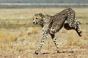 Govt plans to import African cheetah