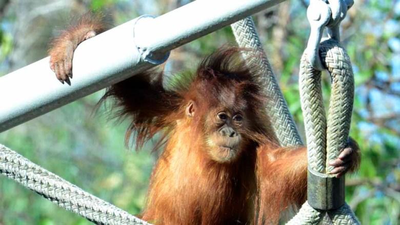 An orangutan at the San Diego Zoo