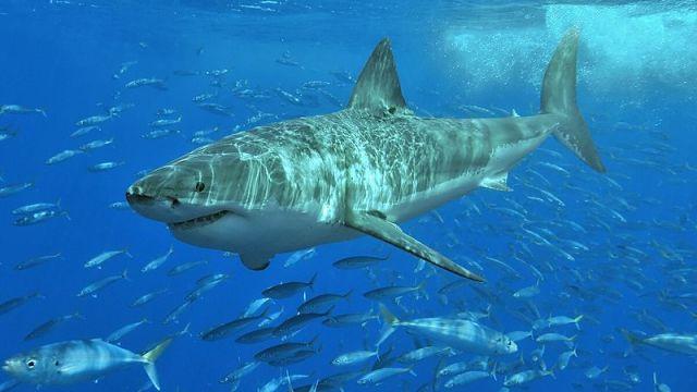 Adult great white shark