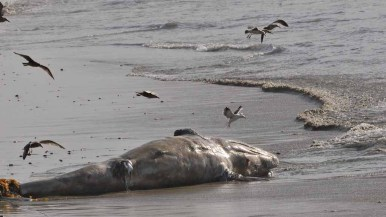 A gray whale calf washed up on shore at Solana Beach Friday morning. Photo by Chris Stone