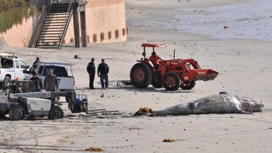 Lifeguards and members of the National Marine Fisheries Service look on as the dead calf is pulled higher on the sand. Photo by Chris Stone