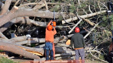 Workers begin to cut up a Torrey pine that fell at Fort Rosecrans National Cemetery. Photo by Chris Stone