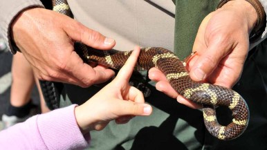 A young child touches a king snake held by a ranger. Photo by Chris Stone