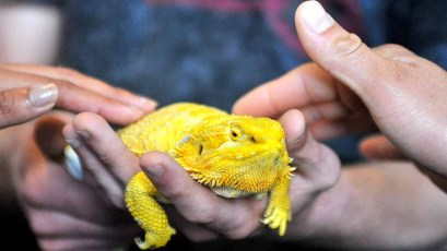 People were eager to find out what a yellow bearded dragon felt like. Photo by Chris Stone