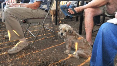 Zeus, a silky terrier owned by Wylie Williamson of El Cajon, roamed the viewing party. Photo by Ken Stone