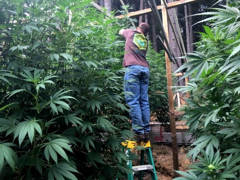 Marijuana grow operation in Humboldt County